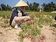 Đặc sản nổi tiếng của Đảo Lý Sơn – Quảng Ngãi
