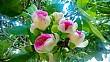 Vẻ đẹp kiêu sa của hoa bàng vuông Lý Sơn