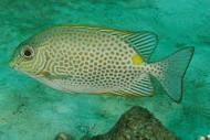 Cá Dìa- Đặc Sản Lý Sơn
