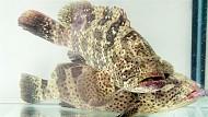 Cá Mú - Lý Sơn