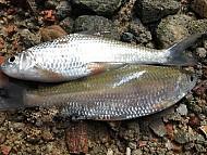 Cá Niên đặc sản Đảo Lý Sơn