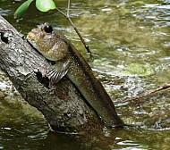 Cá Thòi Lòi đặc sản đảo Lý Sơn