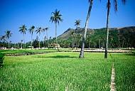 Cây tỏi mang lại thu nhập cao cho nông dân nơi đảo xa