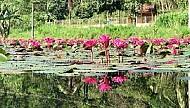 Chiêm ngưỡng với sắc hoa sen- Hoa súng xứ Quảng