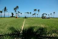 Đảo Lý Sơn mở rộng trồng tỏi hữu cơ