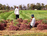 Mùa thu hoạch hành tím niềm vui của nông dân miền đất đảo