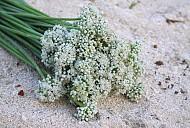 Ngồng hoa hành món quà của biển đảo Lý Sơn