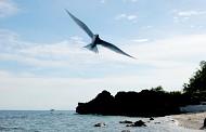 Những cánh chim hải âu trên đảo Lý Sơn