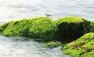 Rêu dệt thảm trầm tích đảo Lý Sơn