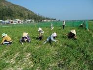 Tỏi voi Nhật Bản trồng tại Lý Sơn